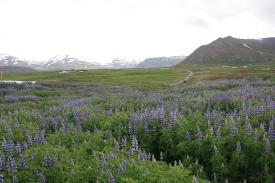 Campi fioriti nella campagna Islandese