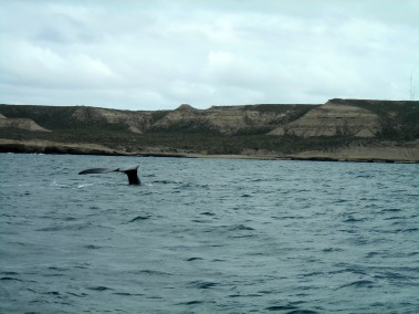 Whales off the coast of Peninsula Valdes in Argentina