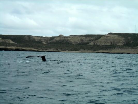 Balene al largo della Penisola di Valdes in Argentina