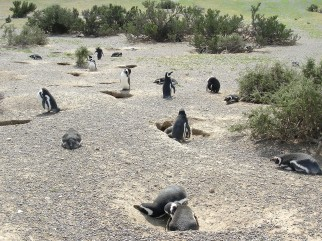 Pinguini di Magellano a Punta Tombo in Argenitna