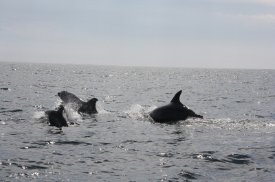 Dolphins at Setubal in Portugal
