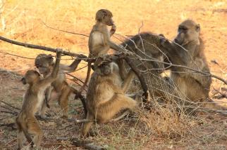 Babbuini nel Chobe National Park in Botswana
