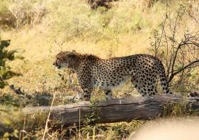 Gheapardo a caccia nel parco Chobe NP in Botswana