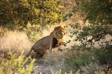 Lion in the park Chobe NP in Botswana