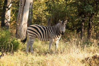 Zebra nella Moremi Reserve in Botswana