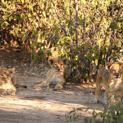 Cuccioli di leone nel Chobe National Park Botswana