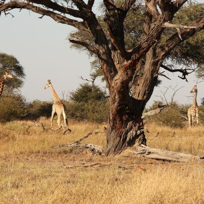 Giraffe nel Chobe National Park Botswana