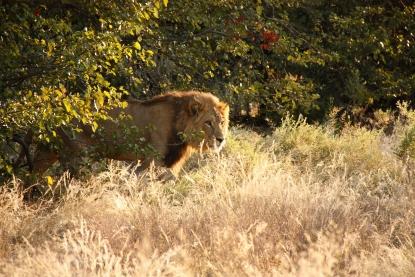 Leone nel Chobe National Park Botswana