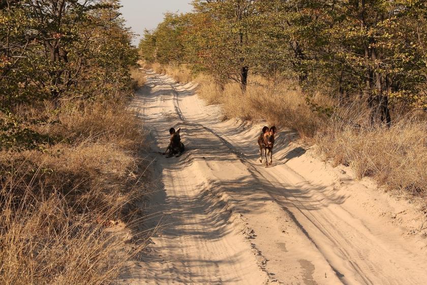 Licaoni animale simbolo del Botswana