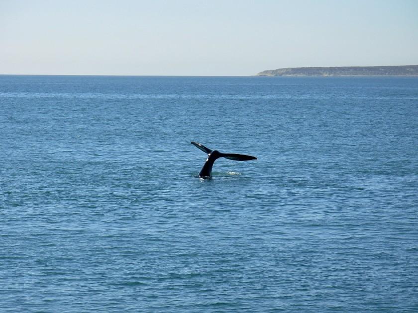 Balena a Puerto Madrin