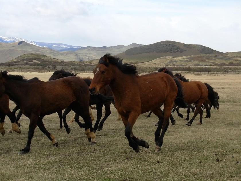 Cavalli al pascolo in Cile